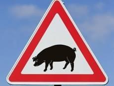 Африканская чума свиней подступает к Мордовии с трех сторон