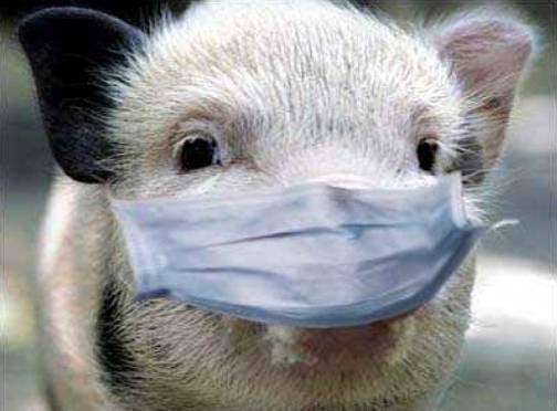 К границам Мордовии приблизилась африканская чума свиней