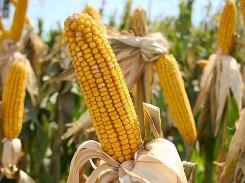В Мордовии площадь кукурузных полей ежегодно возрастает в разы