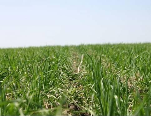 Мордовские аграрии обеспокоены состоянием озимых