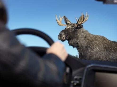На дорогах Мордовии  — лоси и олени