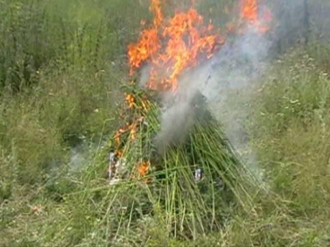 В Мордовии сожгли 100 килограммов конопли