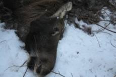 В Мордовии браконьер убил беременную лосиху