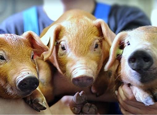 Мордовия делает ставку на собственных чистопородных свиней