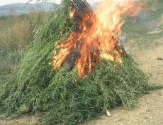 В Мордовии избавились от 80 кг конопли и мака