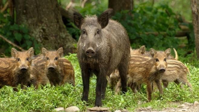 В Мордовии экс-директор охотхозяйства ответил за лишних кабанов