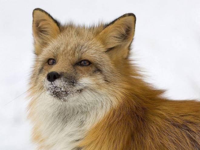 По Саранску гуляют лисы