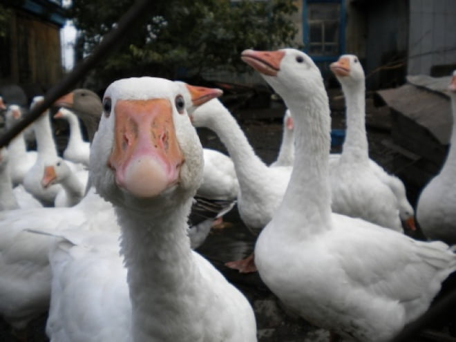 В Большеберезниковском районе разведут гусей и осетра