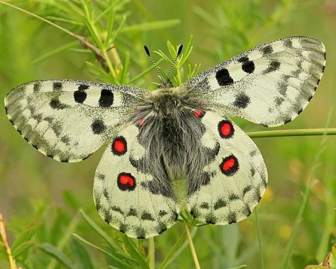 В Мордовском заповеднике обнаружили редкую бабочку