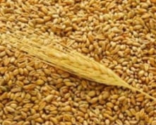 Перед аграриями Мордовии поставлена задача по увеличению урожая зерновых