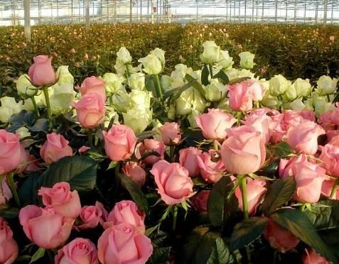 В Мордовии построят ещё один цветочный комплекс