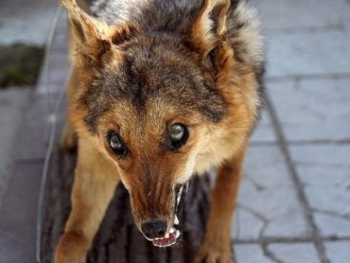 В Мордовии лисы болеют бешенством, а коровы – туберкулезом