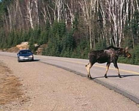 В Мордовии лось стал причиной ДТП