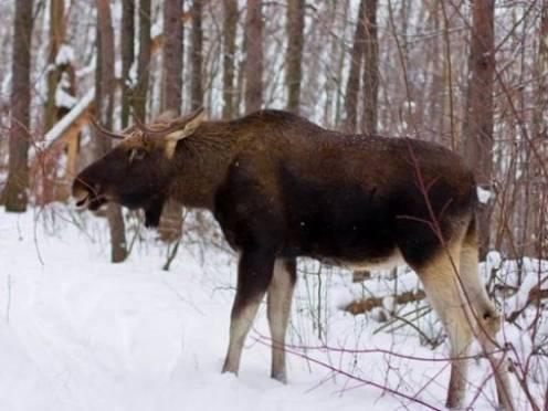 Прокурор Мордовии лично контролирует ход дела об убийстве лося