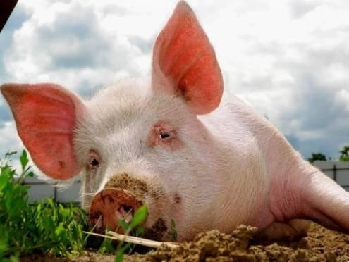 Мордовский агрохолдинг  - в числе крупнейших производителей свинины в России