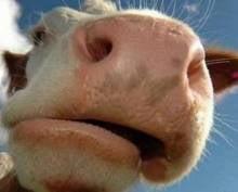 В Мордовии глава сельского поселения наживался на мифических коровах