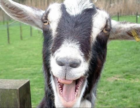 Жителей Мордовии призывают не молчать о странном поведении своих коз