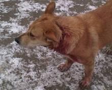 В Ялге живодёры пытались перерезать собаке горло