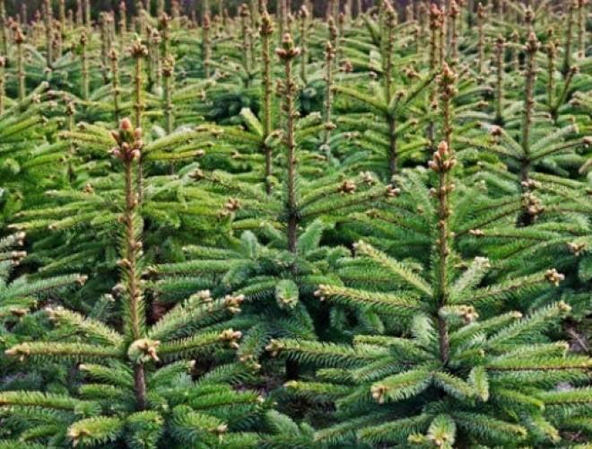 В Мордовии будут следить за каждой елкой