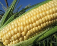 В Чамзинском районе зафиксирован рекордный урожай кукурузы