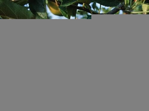 Мордовии требуется 73 000 тонн яблок