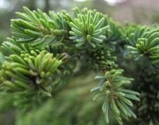В Мордовии хвойные деревья возьмут под охрану мобильные группы минлесхоза