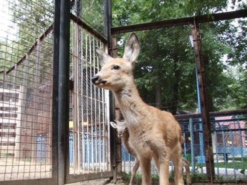 В саранском зоопарке поселили одинокого детёныша косули