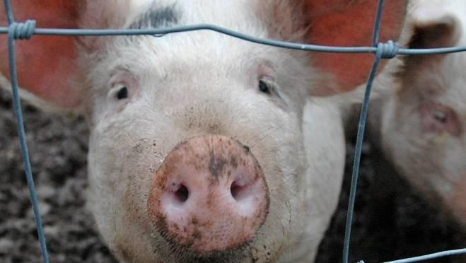В Ардатовском районе Мордовии пересчитают свиней