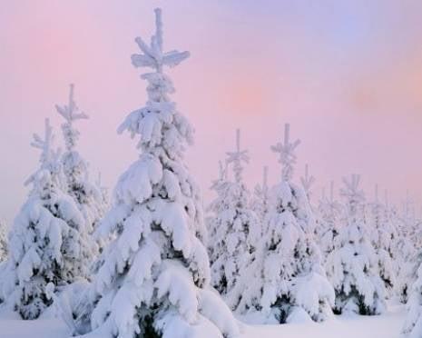 В Мордовии на особый контроль взяли хвойные деревья