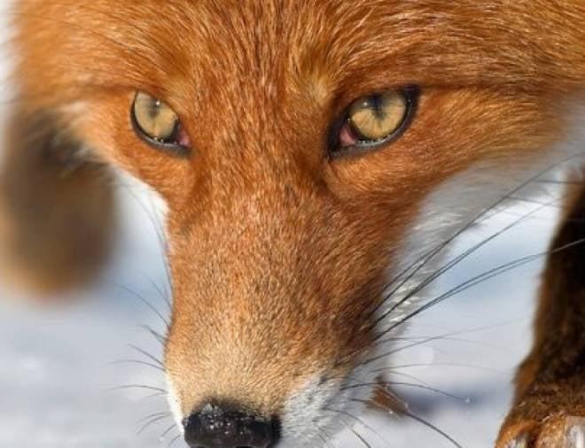 В Мордовии будут отстреливать лис
