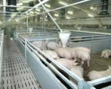 Мордовия сделает марш-бросок по производству свинины