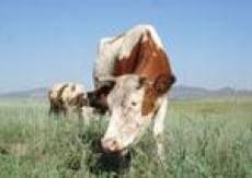 В Мордовии растет поголовье скота