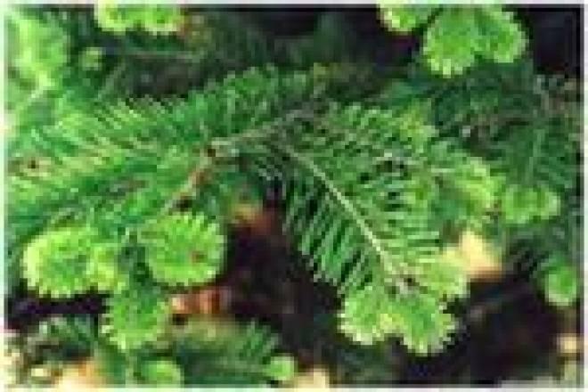 Мордовия реализует в другие регионы более пятнадцати тысяч новогодних елок и сосен