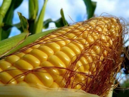 """Мордовия намерена """"замахнуться"""" на рекорд по сбору кукурузы"""