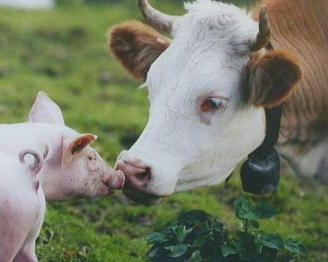 Мордовия получит 30 млн федеральных рублей на поддержку животноводства