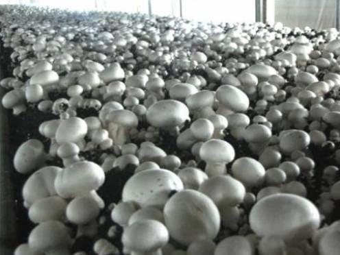 В Мордовии будут выращивать  шампиньоны в промышленных масштабах