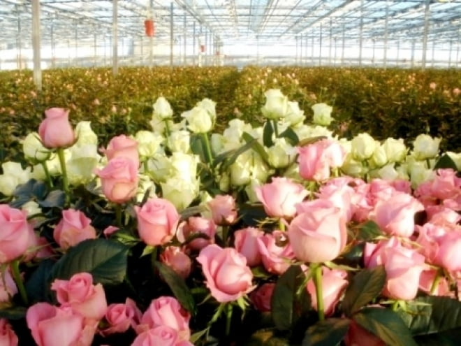В Мордовии построят фабрику по производству роз
