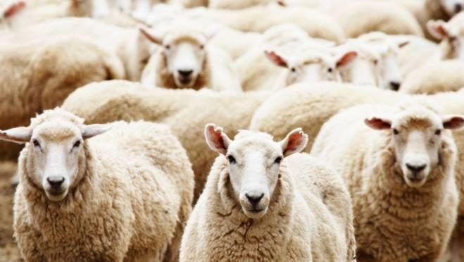 В Мордовии вор на машине сбил целую отару овец