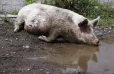 Африканская чума свиней приближается к Мордовии