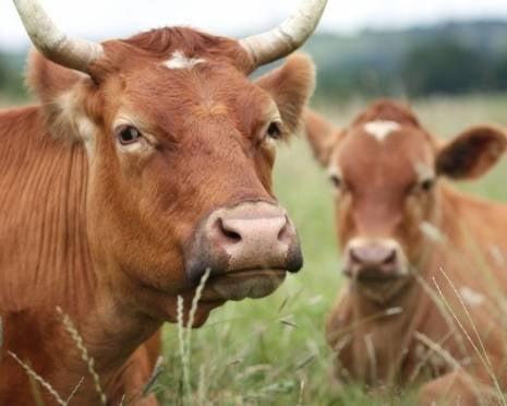 Мордовия намерена развивать племенное животноводство