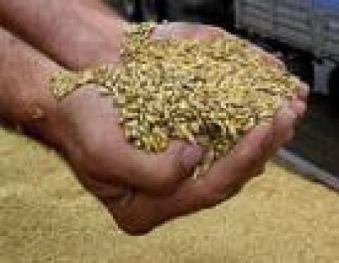 Урожай зерновых в Мордовии - лучший в ПФО