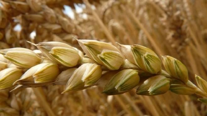 Аграрии Мордовии перевыполнили план по уборке зерновых
