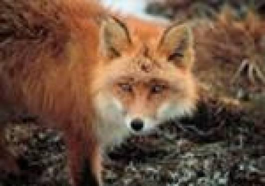 В Саранске - нашествие диких лис