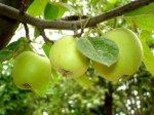 В Саранске автолюбителей поджидает фруктовая «угроза»
