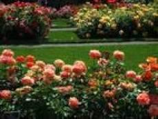 Жители Саранска крадут цветы с городских клумб