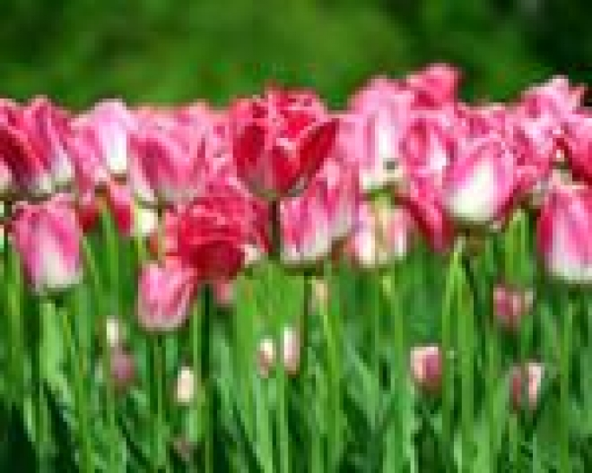 Около 40 тысяч тюльпанов будет высажено этой осенью в Саранске