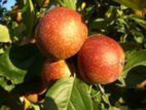 В Саранске пройдет народный праздник «В Яблочный спас гулянья у нас!»