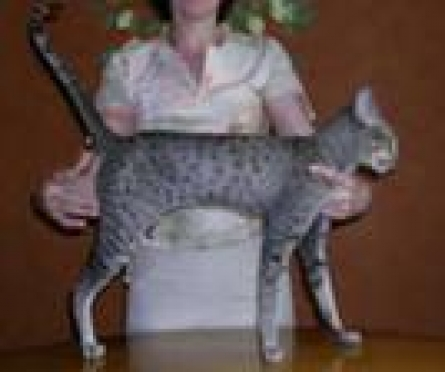 В  Саранске пройдет международная выставка кошек