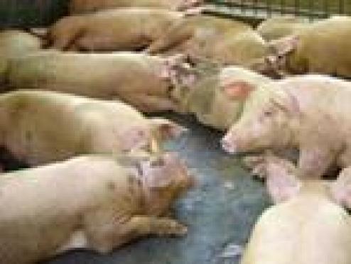 Африканская чума свиней становится ближе к Мордовии