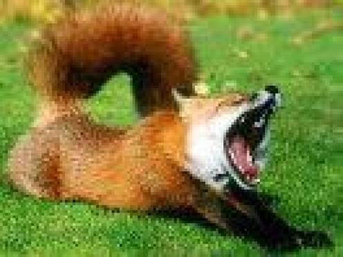 За каждую убитую лису в Мордовии охотник получит вознаграждение